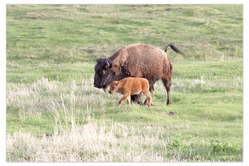 Yellowstone Park Buffalo