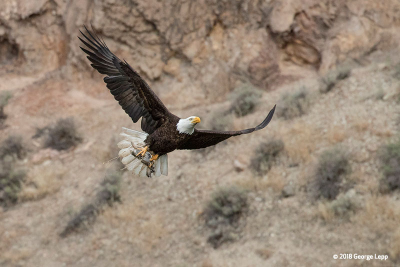 Canon See Impossible - George Lepp - Adult eagle flying with rabbit in claws