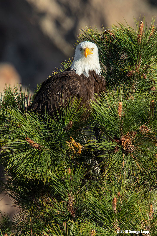 Canon See Impossible - George Lepp - Adult eagle at top of towering nest tree