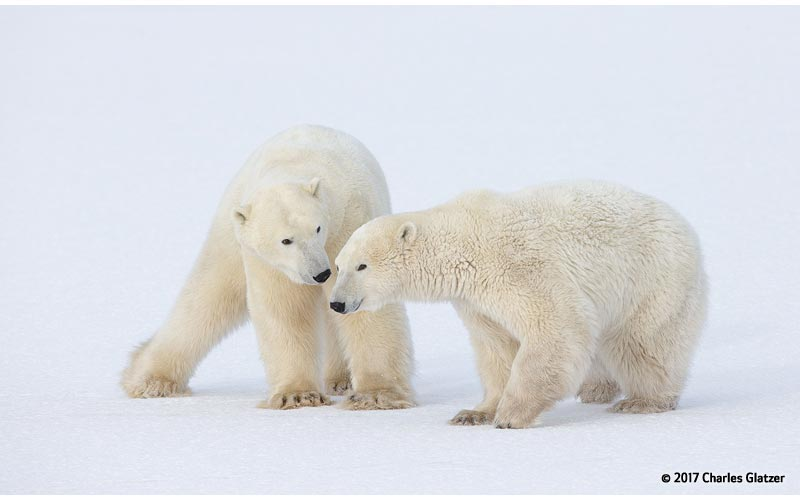 Canon See Impossible - Charles Glatzer - Polar Bear Cubs