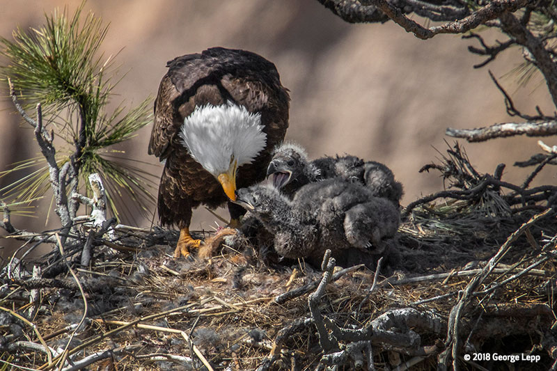 Canon See Impossible - George Lepp - Week 4.5 - Adult eagle feeding eaglets
