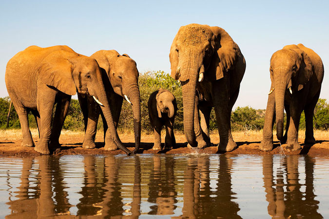 Herd of elephants standing on water edge