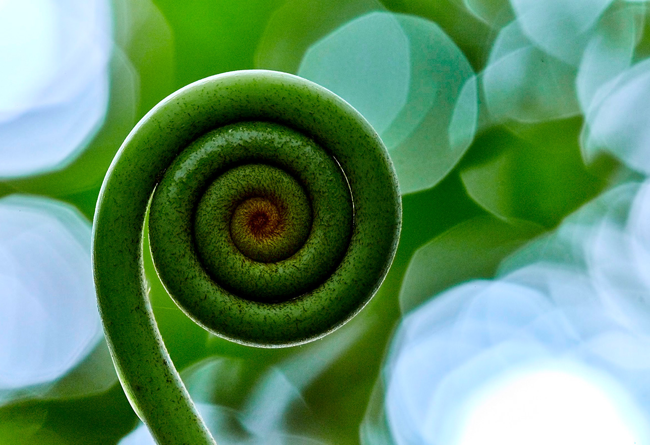 Extreme macro closeup of fiddlehead fern