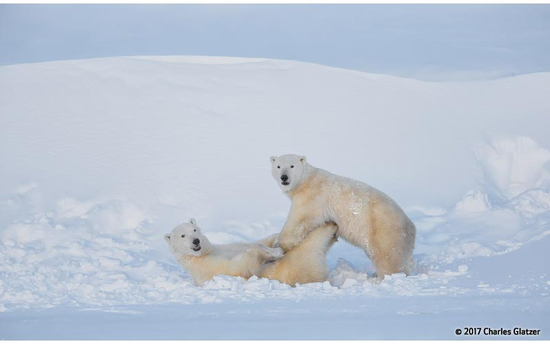 Canon See Impossible - Charles Glatzer - Polar Bears Playing
