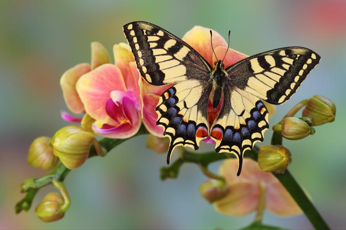 Canon See Impossible - Darrell Gulin - Old World Swallowtail Butterfly