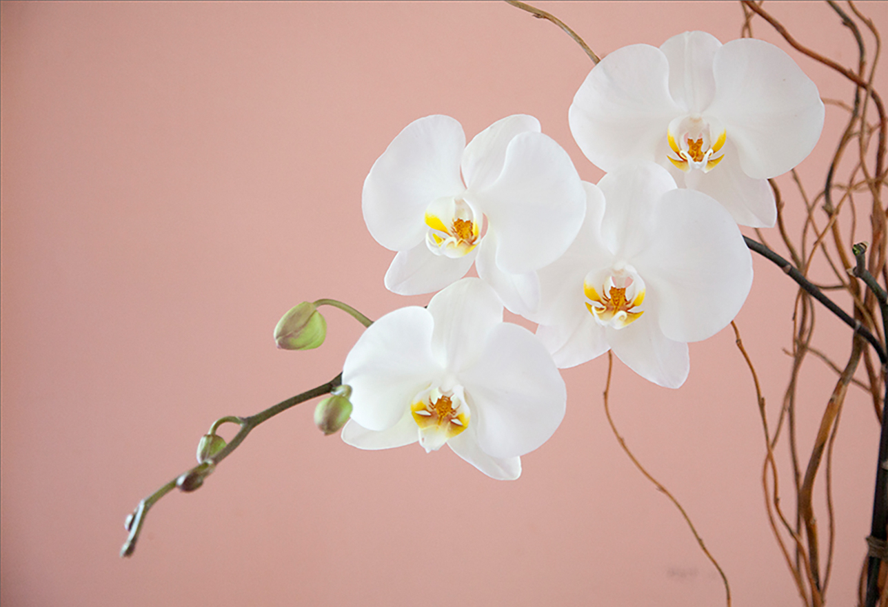 Soft white flowers hanging off thin brown twigs with a light pink background