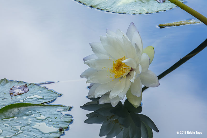 Canon See Impossible - Eddie Tapp - Water Lily