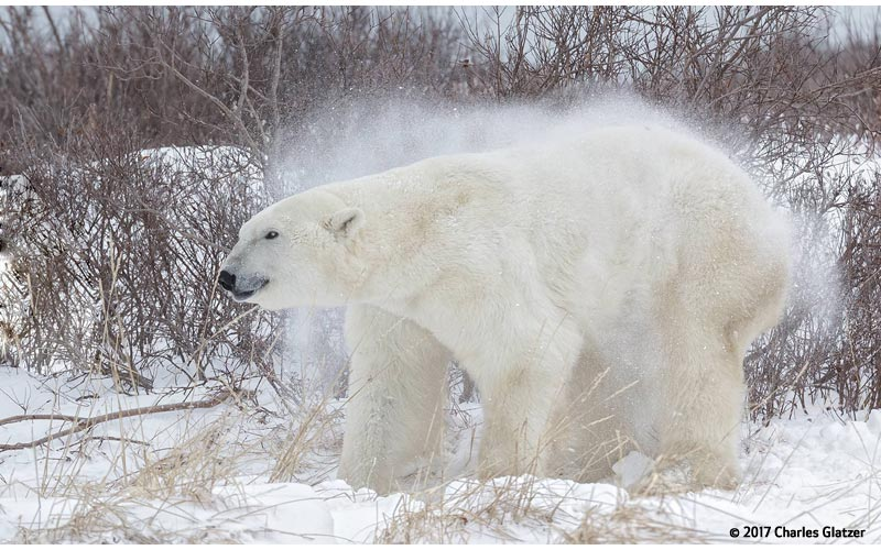 Canon See Impossible - Charles Glatzer - Polar Bear Shaking Off Snow