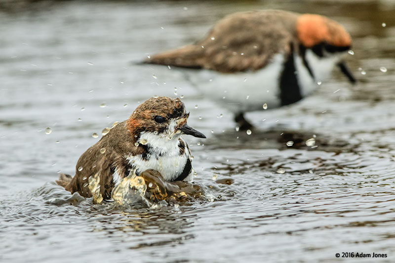 Canon See Impossible - Adam Jones - Plovers Bathing