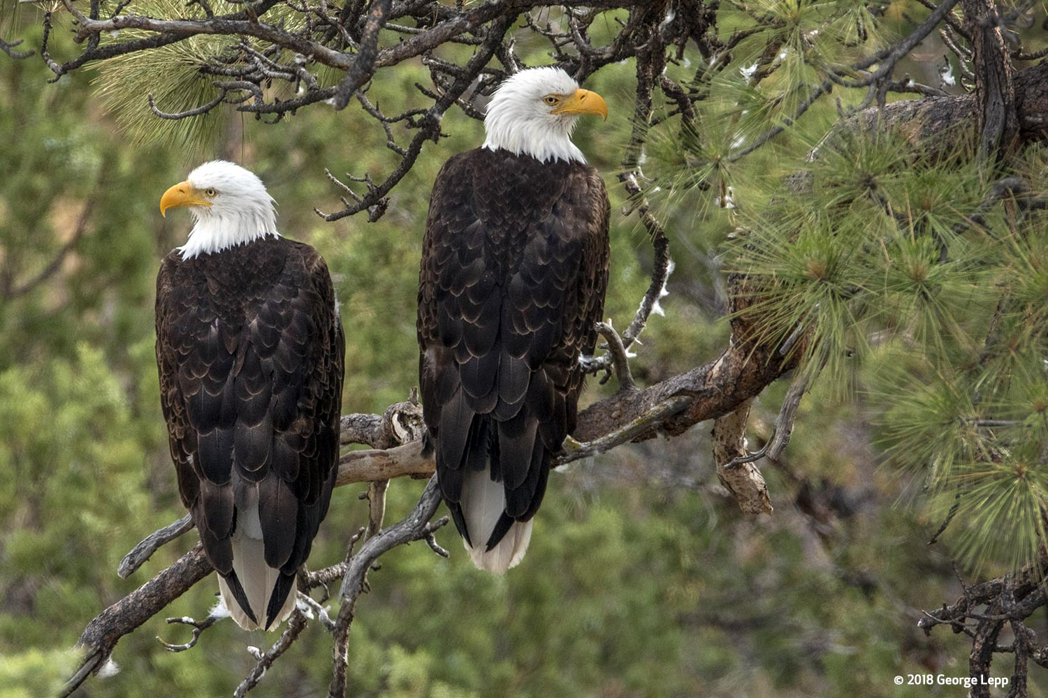 Canon See Impossible - George Lepp - Photographing the American Bald Eagle