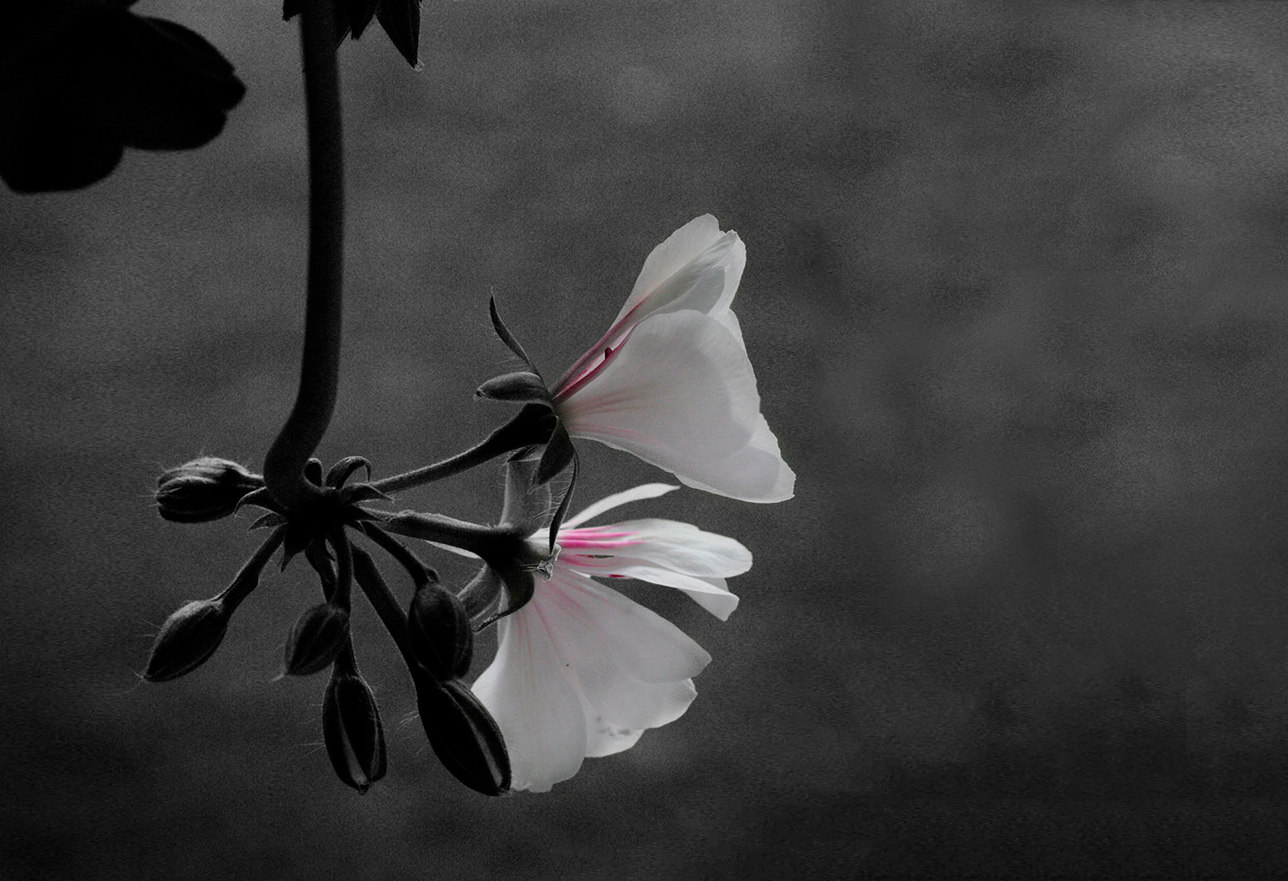 Dark image of white and pink flowers mostly in shadow hanging from the top of the photo