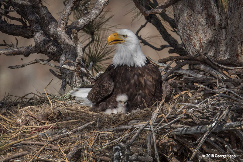 Canon See Impossible - George Lepp - Week 1 - Adult female eagle and baby eaglet in nest